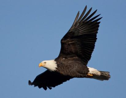 bald_eagle_flying_11-20-13